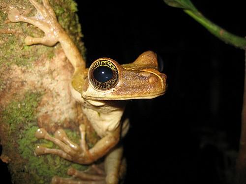 Rana del Amazonas