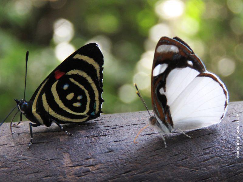 mariposas en cataratas de iguazú