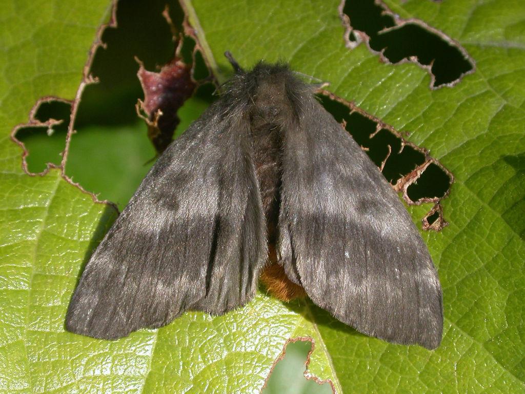 mariposa-negra-Hylesia-nigricans